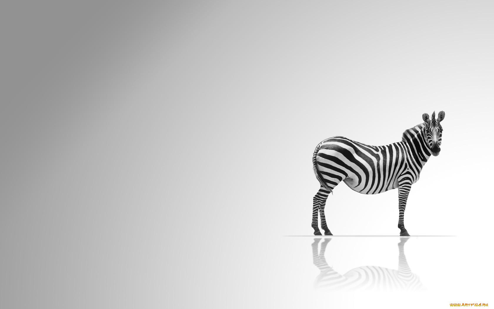Обои из зебра обои картинка
